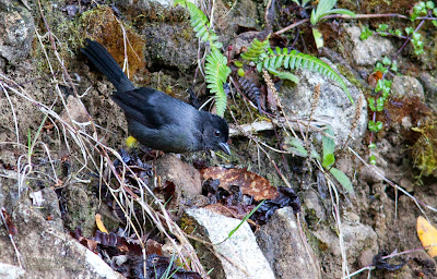 yellow-thighed finch, costa rica birds