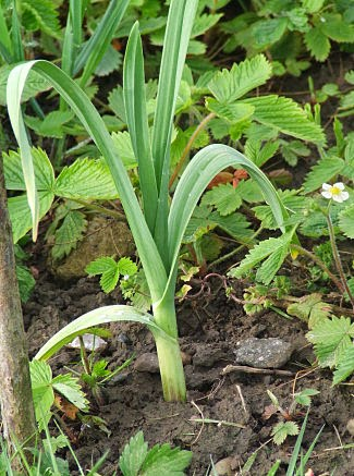 Elephant garlic growing amongst wild strawberries