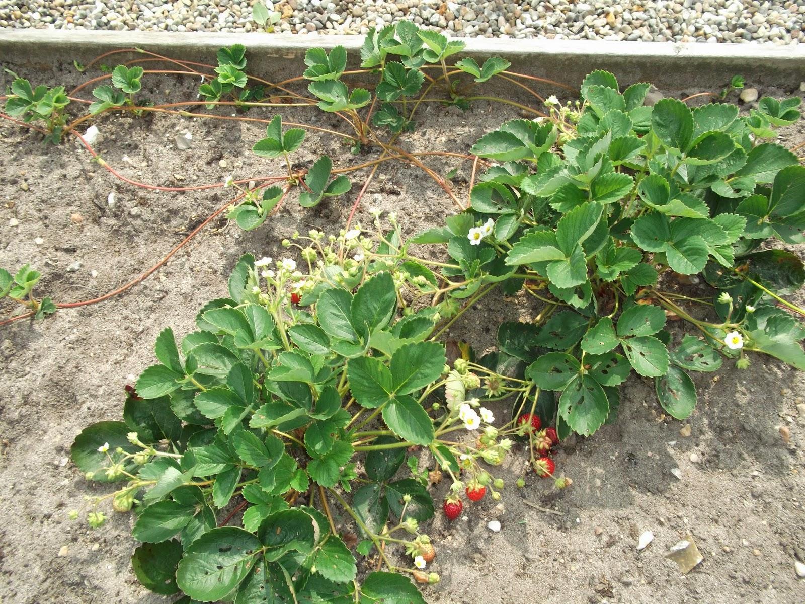 jordbær planter i krukker