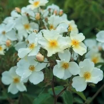 Derri re les murs de mon jardin achats d automne - Deplacer un rosier ...