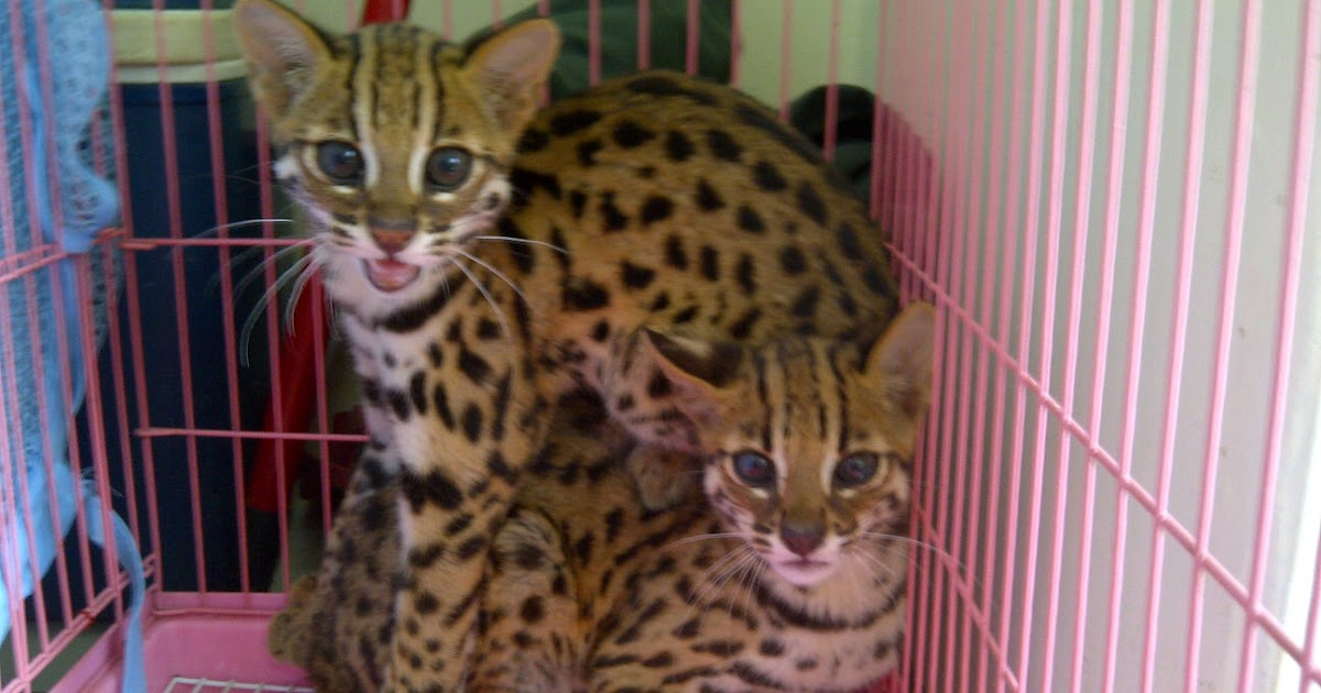 Asian leopards for sale