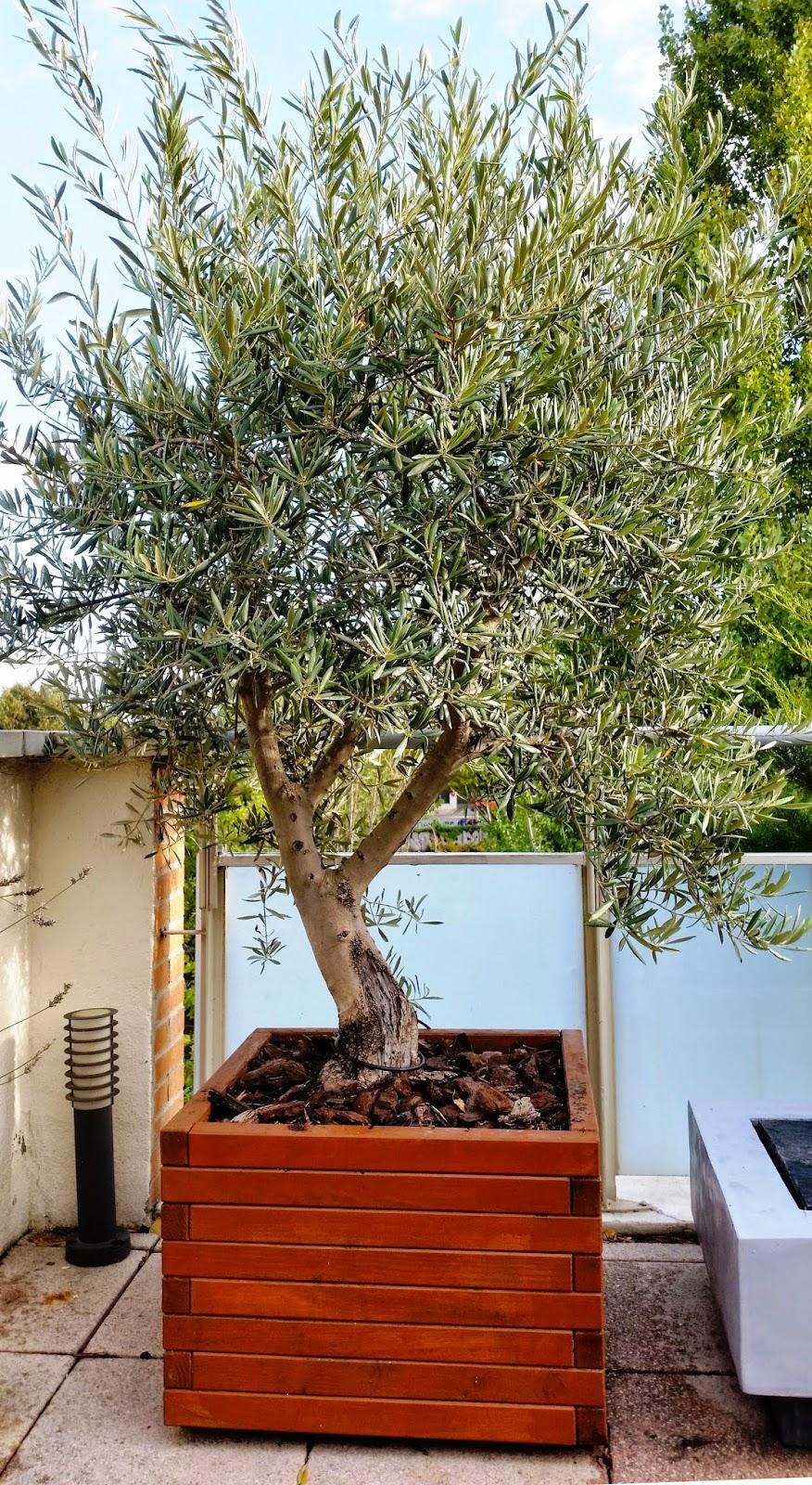Bonsai de javier neila olivo m s peque o que un ni o - Olivo en maceta ...