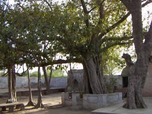 Trees at Tatiya Sthan Vrindava 3
