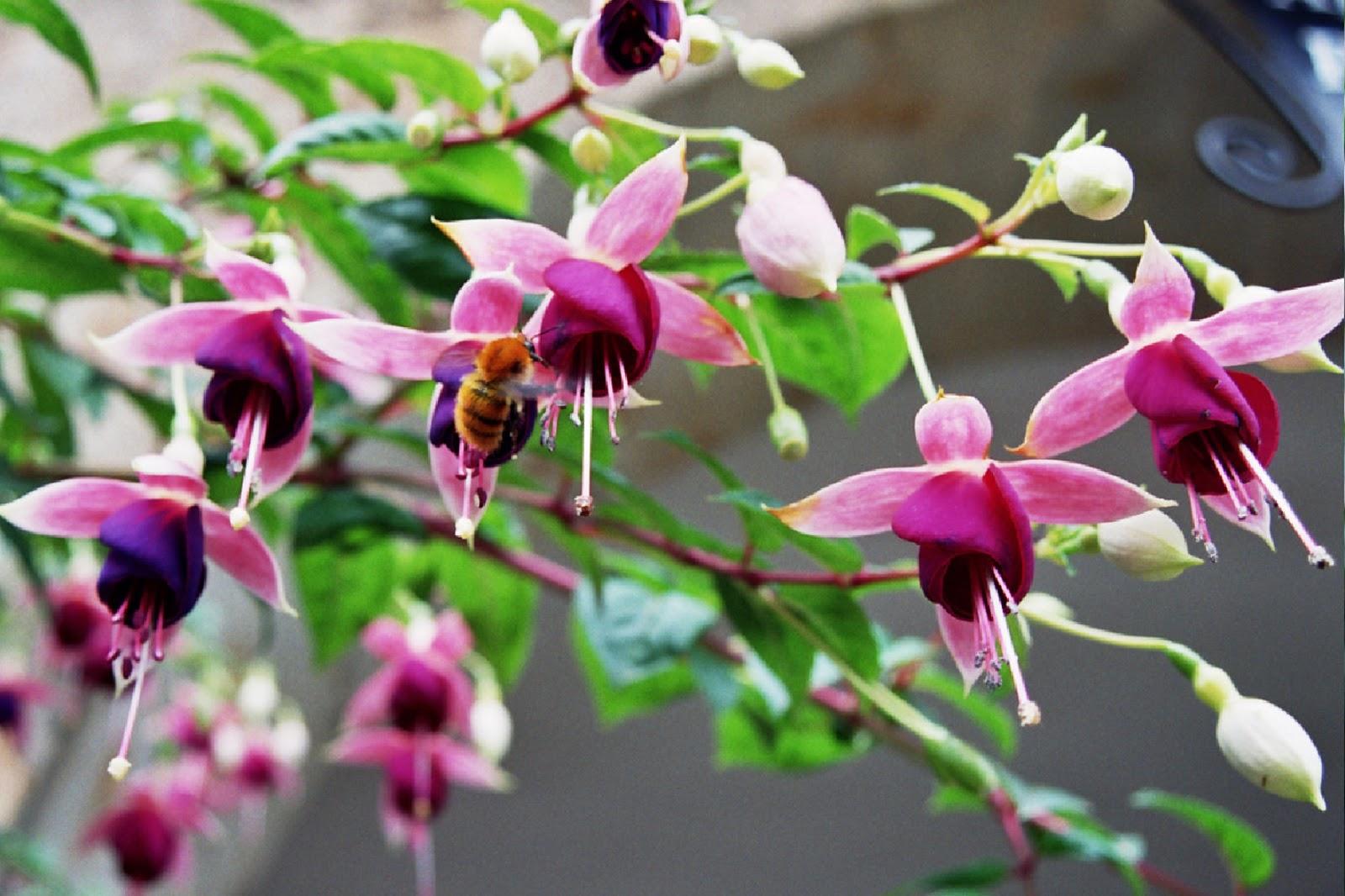 Plantas colgantes exterior sol esta planta de la familia - Plantas colgantes de exterior ...