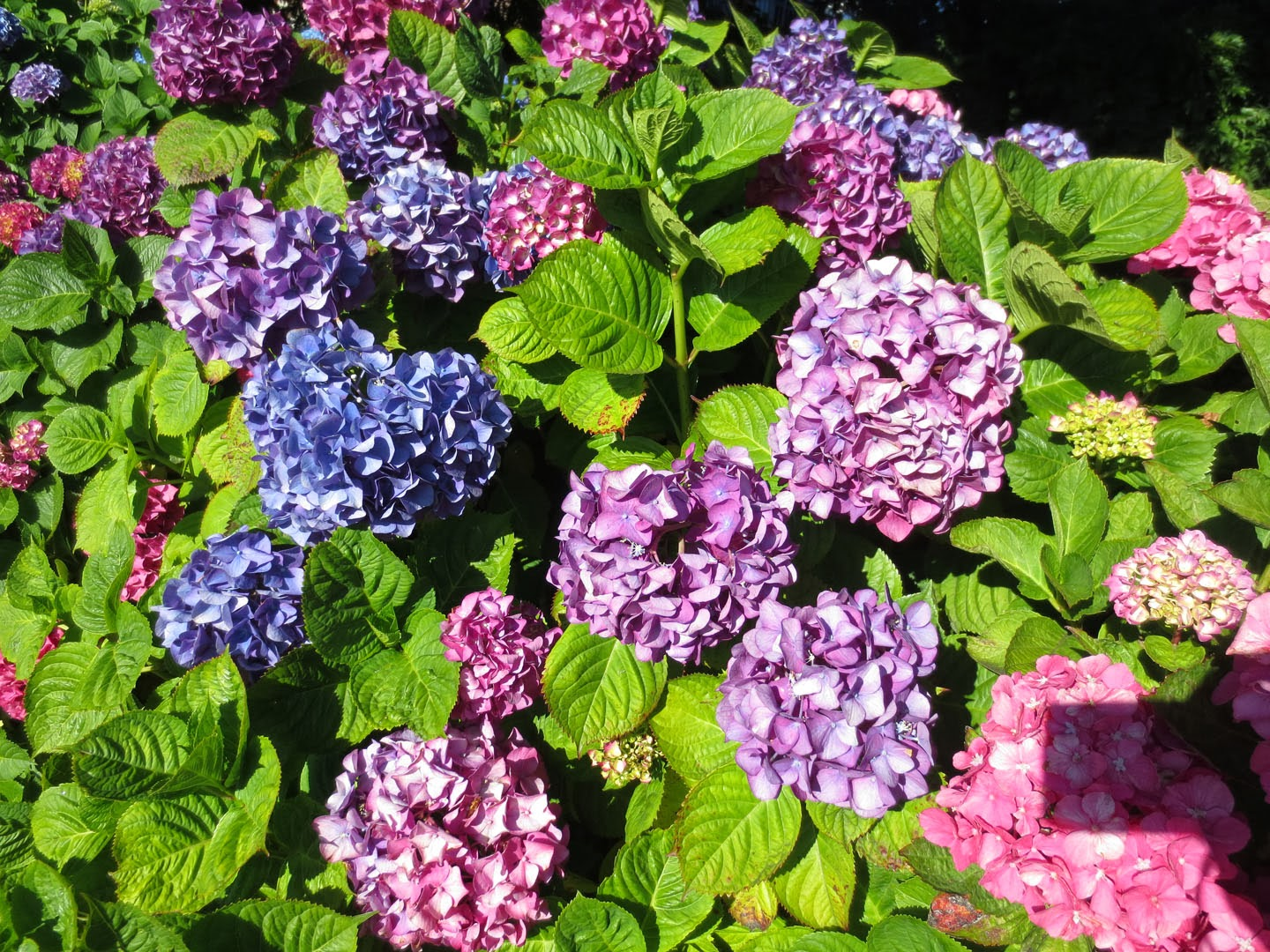 hydrangeas at the empress hotel