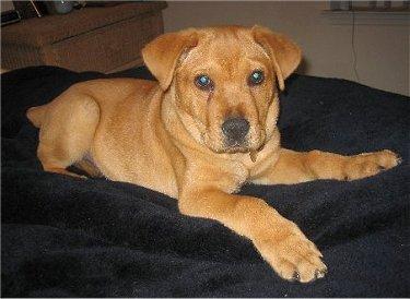 Goldens Retrievers: Yellow Lab Golden Retriever Mix Puppies