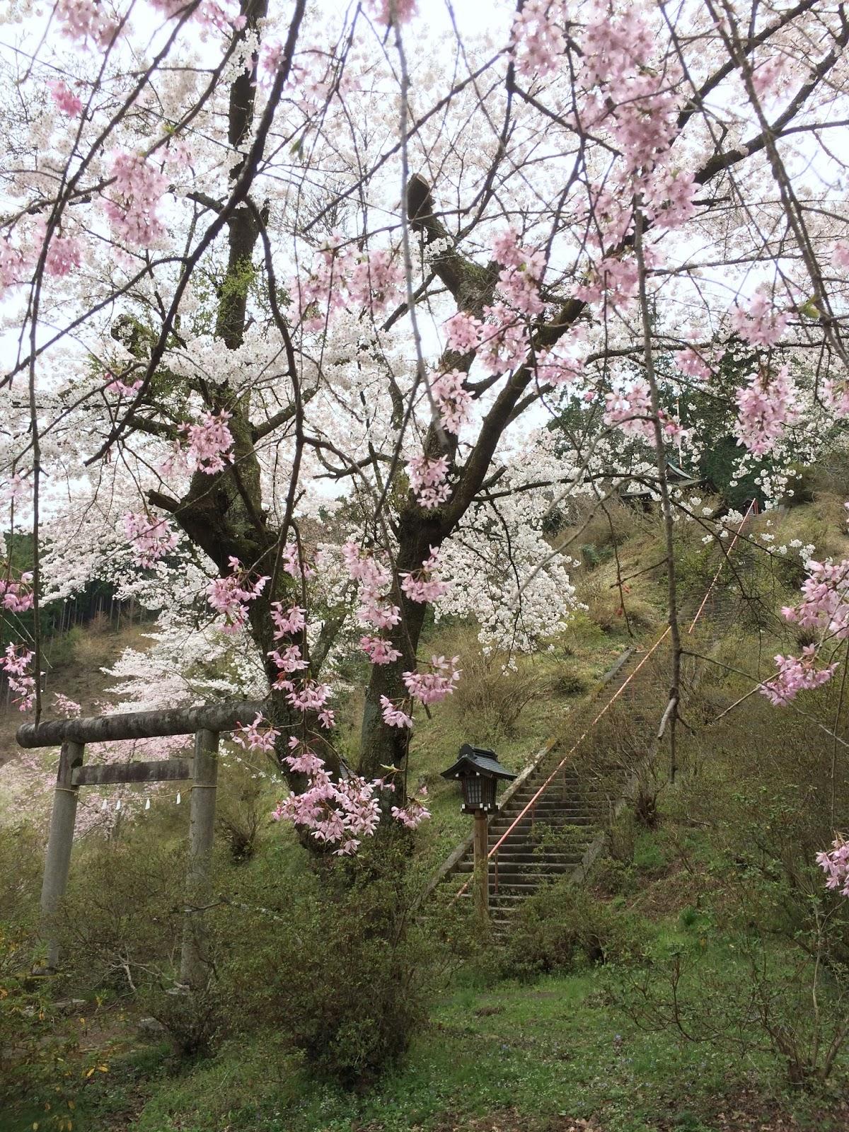 ome-atagoyamajinja-sakura
