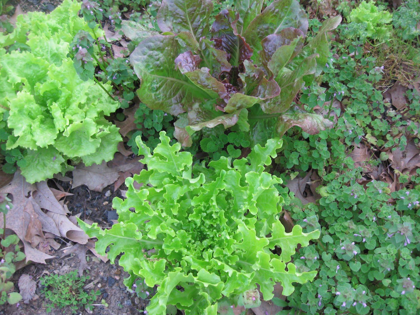 Kentucky fried garden preparing the vegetable garden soil for Preparing soil for vegetable garden