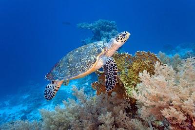 Tortuga gigante en el mar