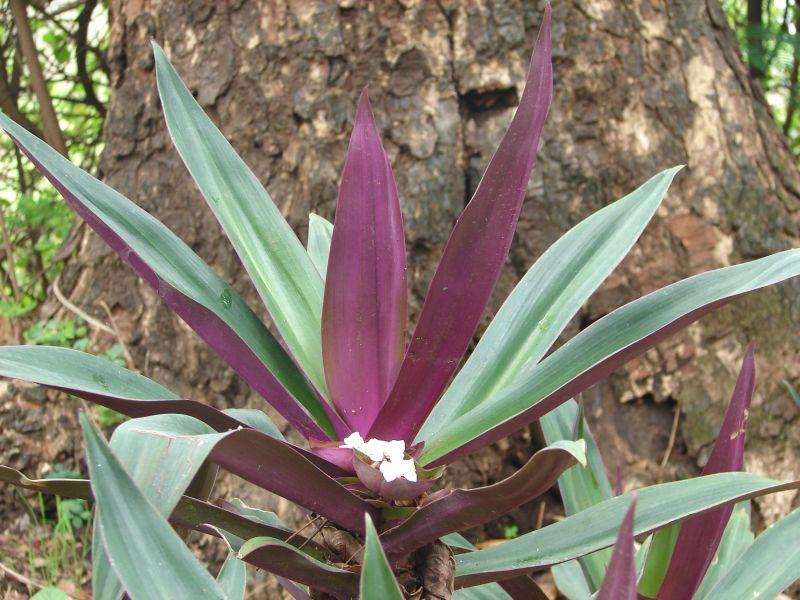 Maguey o agave: conoce sus increbles BENEFICIOS y usos 67