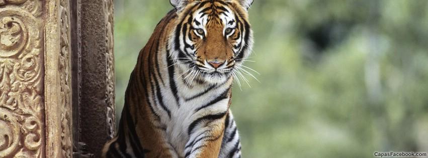 Tigre - Capa para Facebook