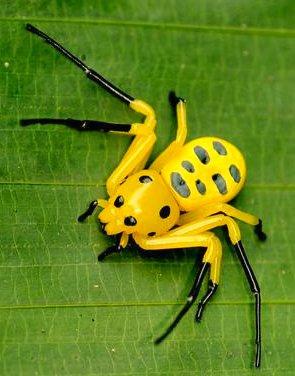 foto gambar laba-laba kuning