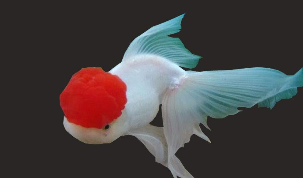 Mas Koki Oranda Greenfish Indonesia