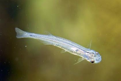 7 Jenis Ikan Air Tawar Yang Langka dan Menyeramkan di Dunia