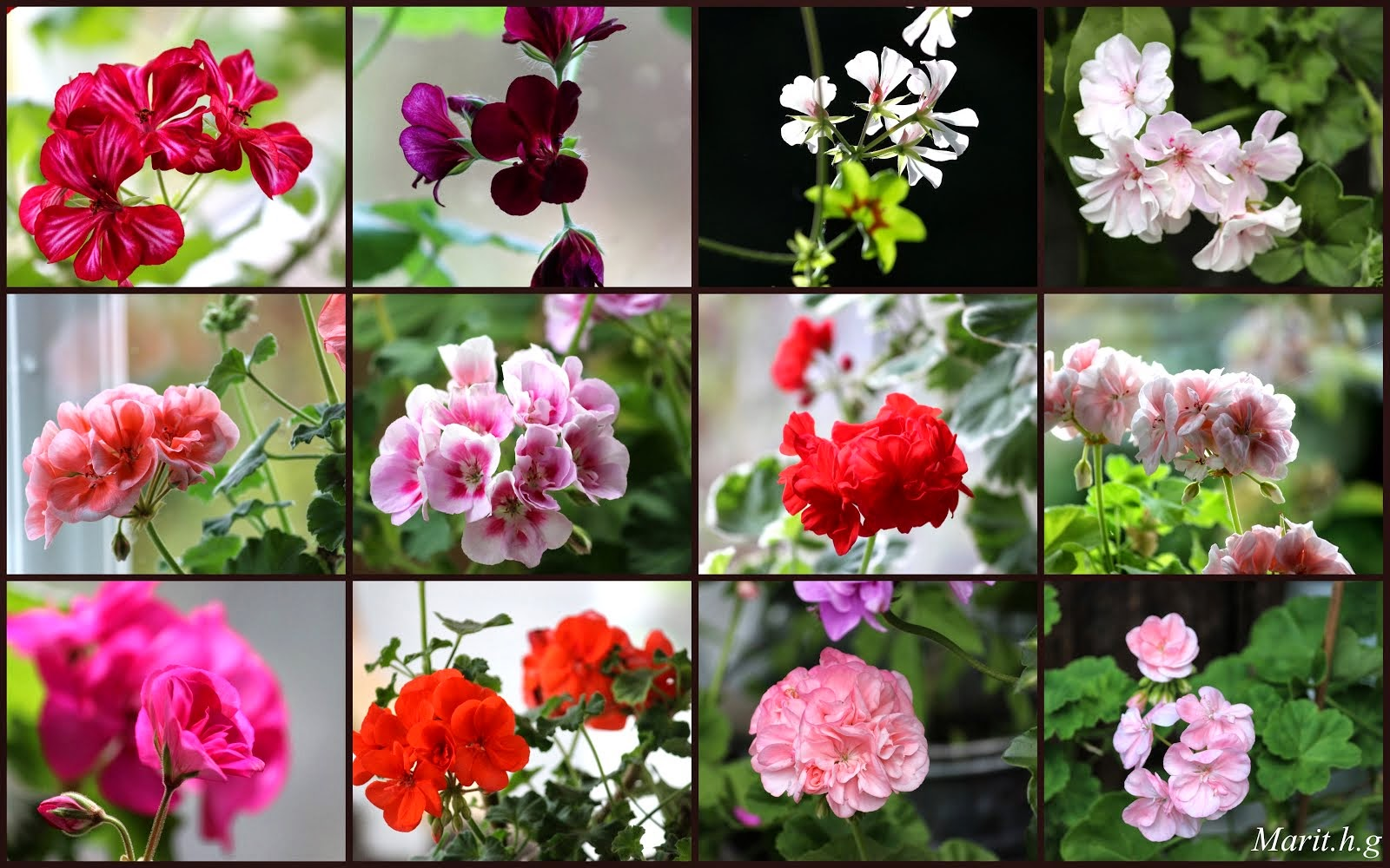 Give Away, pelargonia stiklinger.