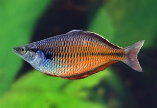 rainbow fish indonesia