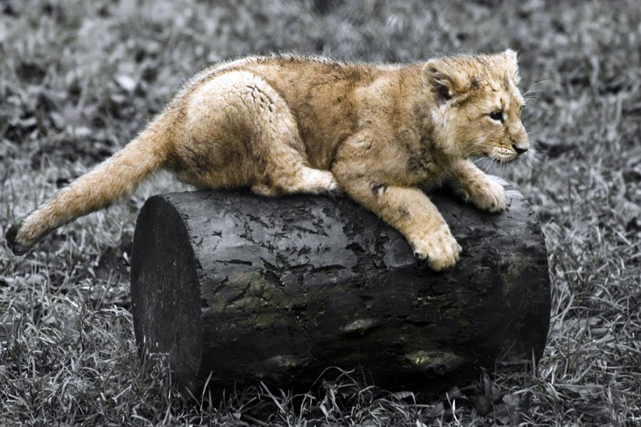 Zoo park asian lions info asian lions cubs photos and fast facts