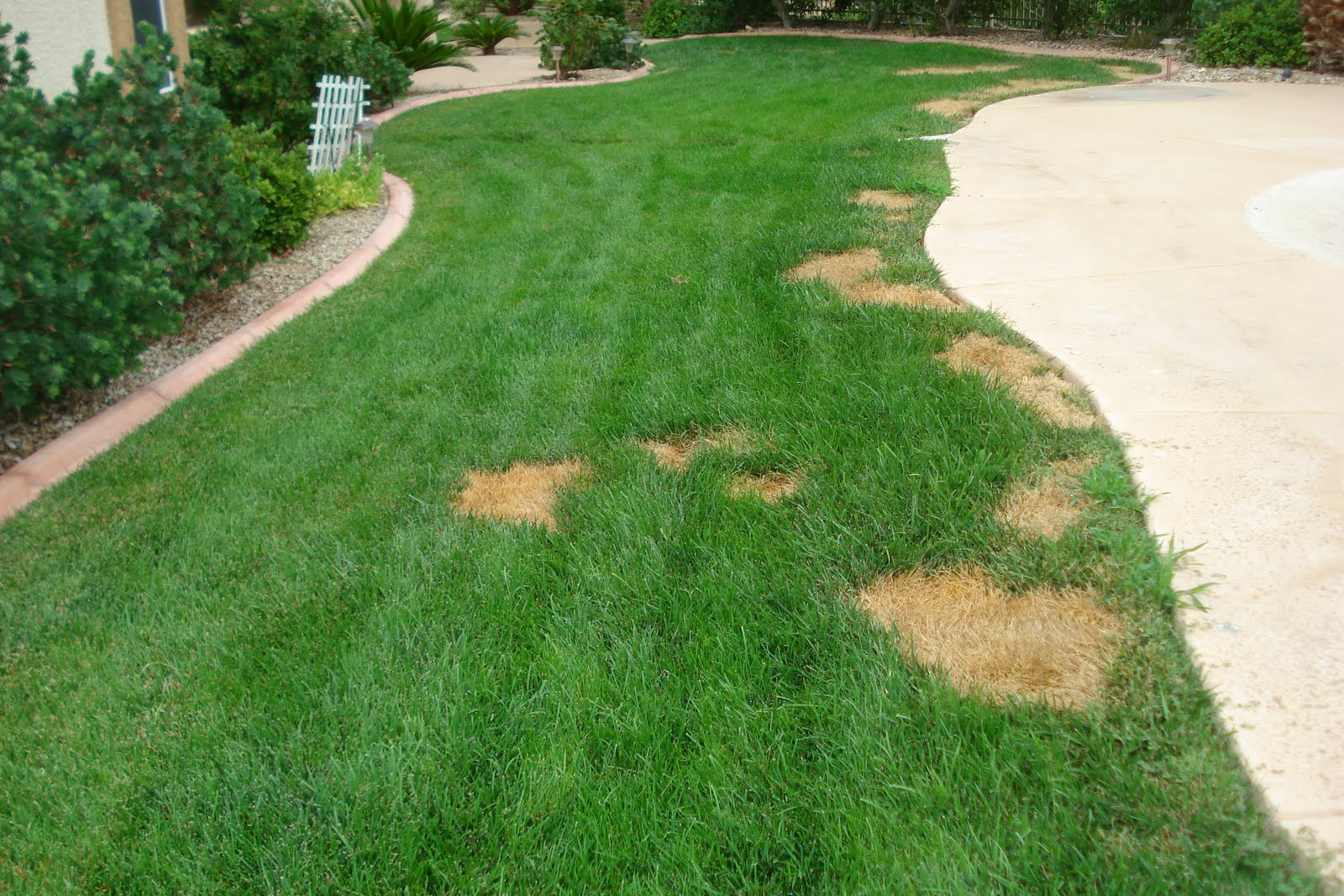 Xtremehorticulture of the desert summer brown dead spots for How to fix dog urine spots on lawn