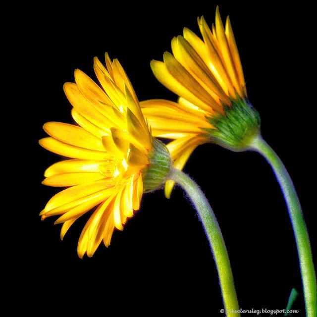 kwiaty, chryzantema, żółty, kolor, makro