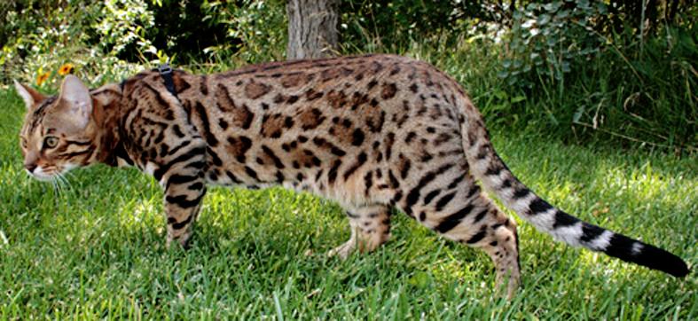 Экзотическая домашняя кошка kinkajou