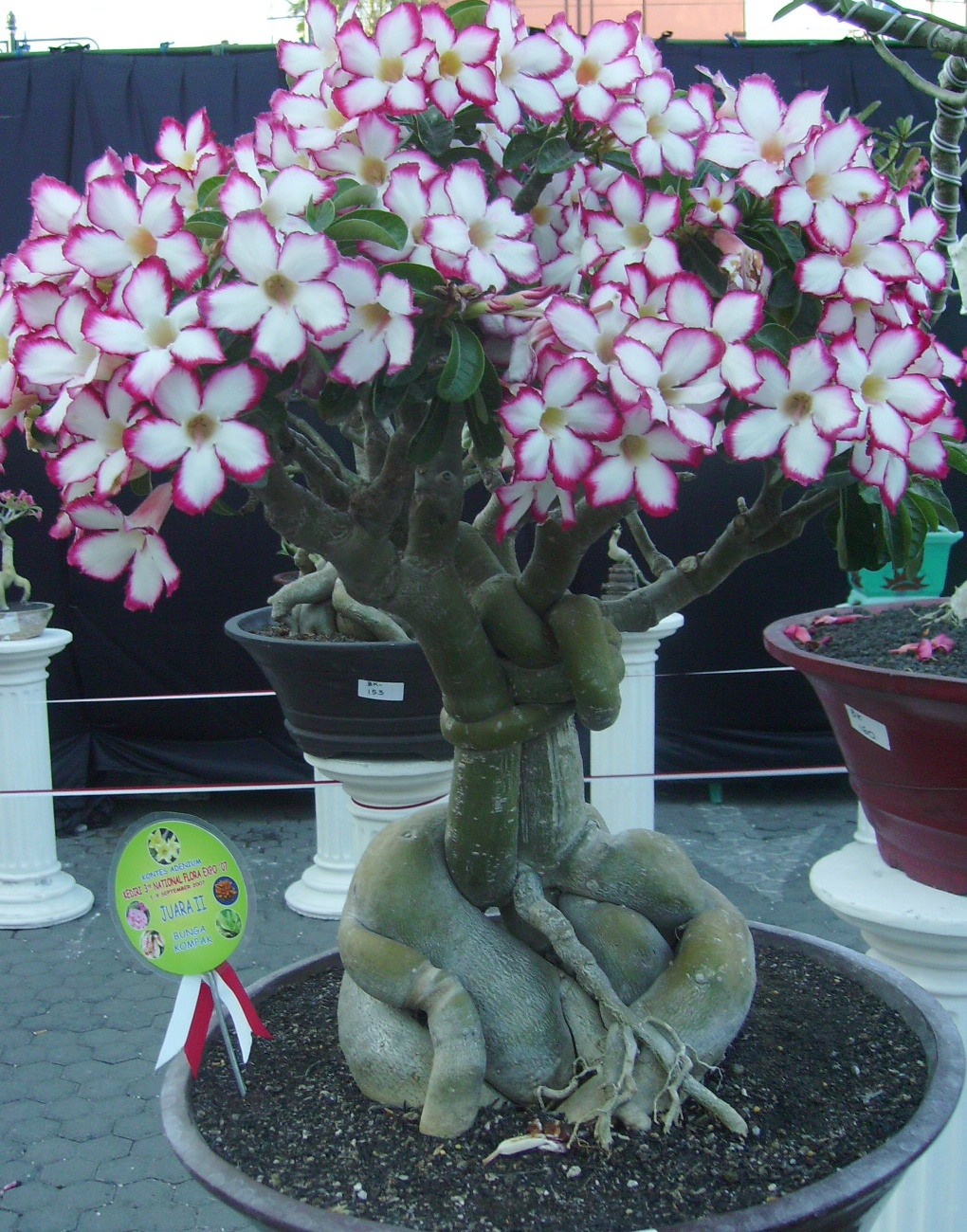 The Best Ornamental Plants Review Beautiful Adenium Bonsai Decoration