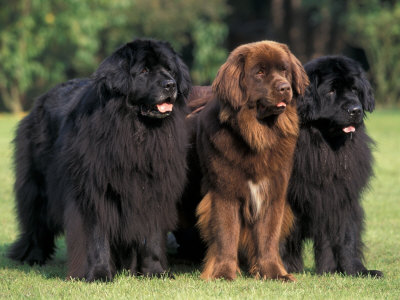 Newfoundland Puppies on Dog Wallpapers Album  Newfoundland Dog Picture