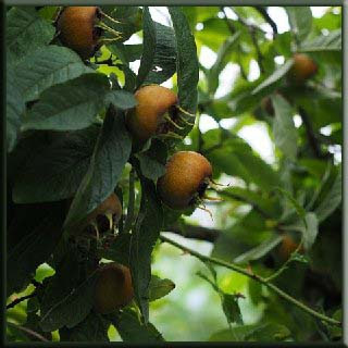 muşmula faydaları  muşmula ağacı   muşmula nedir    muşmula meyvesi    muşmula ağacı    rüyada muşmula görmek