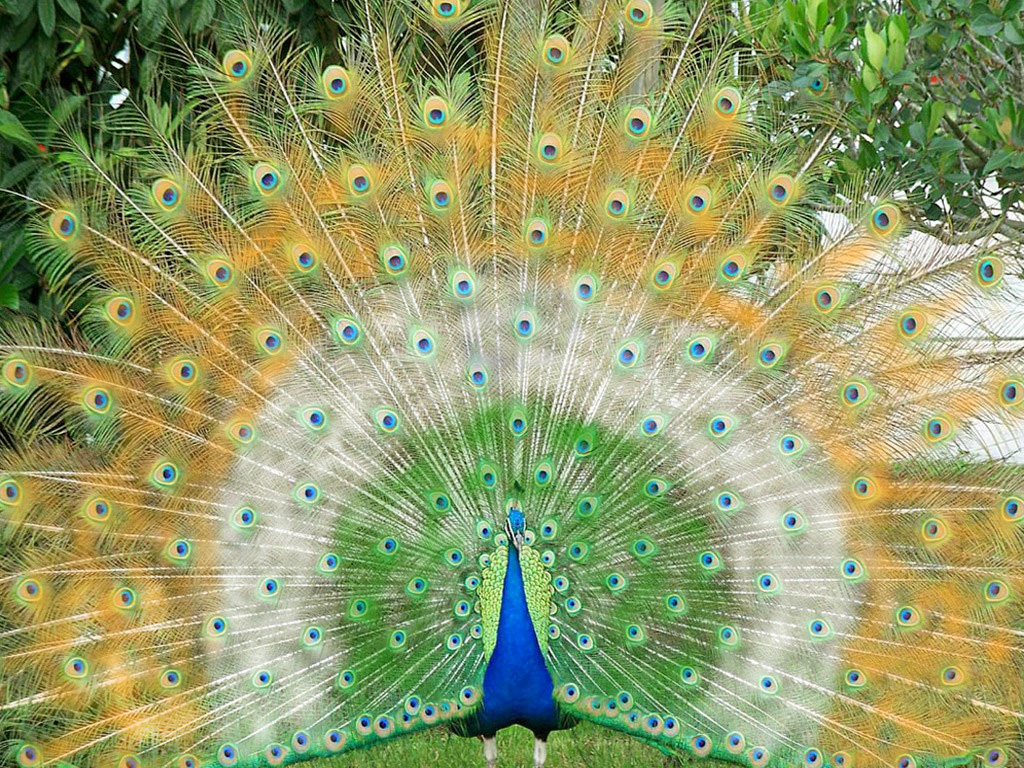 Top 28 most beautiful and sweet peacock wallpapers in hd - Fotos de un pavo real ...