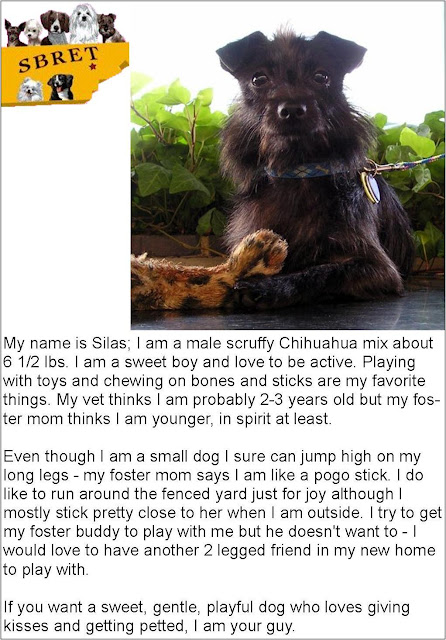 Treasure Thursday Featured Dog Silas from Small Breed Rescue of East Tennessee
