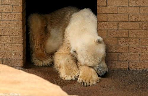 Beruang Kutub Meninggal Karena Patah Hati