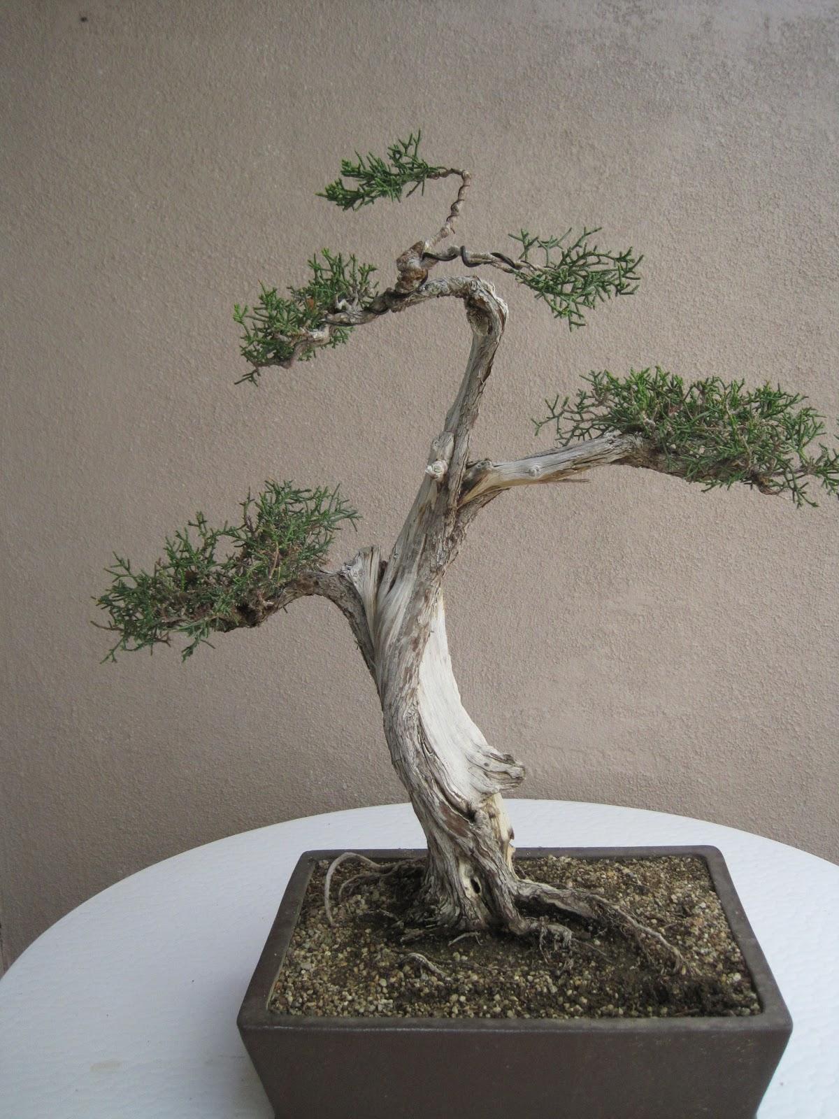 ShoChiku Bai Bonsai Club UPDATED BONSAI TREES FOR SALE As Of 05