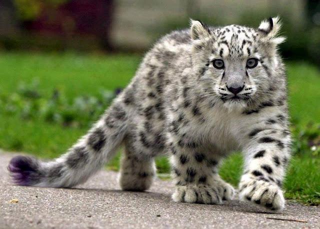 walkining Snow Leopard Cub