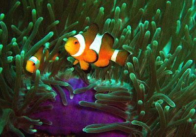 Características, alimentação, reprodução e distribuição do Peixe Palhaço (Amphiprion ocellaris)