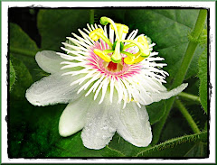 passiflora-foetida