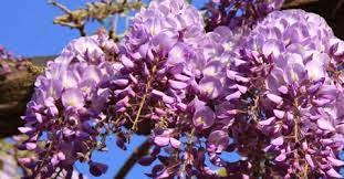 I Glicini Sono Originari Della Cina, Del Giappone, Della Corea E  Dellu0027America. Sono Arbusti Rampicanti Di Forte Crescita, Decidui, Con Una  Spettacolare ...