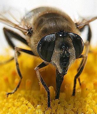 Abeja de cerca (abeja con enormes ojos)
