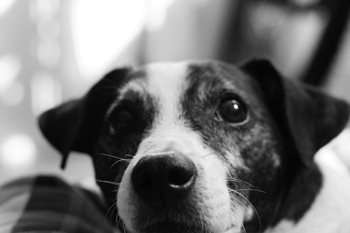 jack russell terrier black and white - photo #7