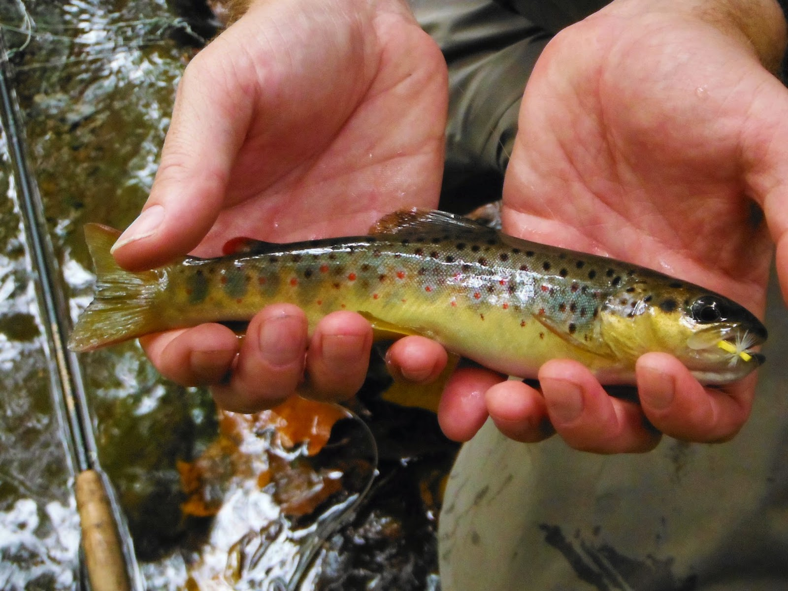 Tennessee fly fishing small stream stealth for Tennessee trout fishing