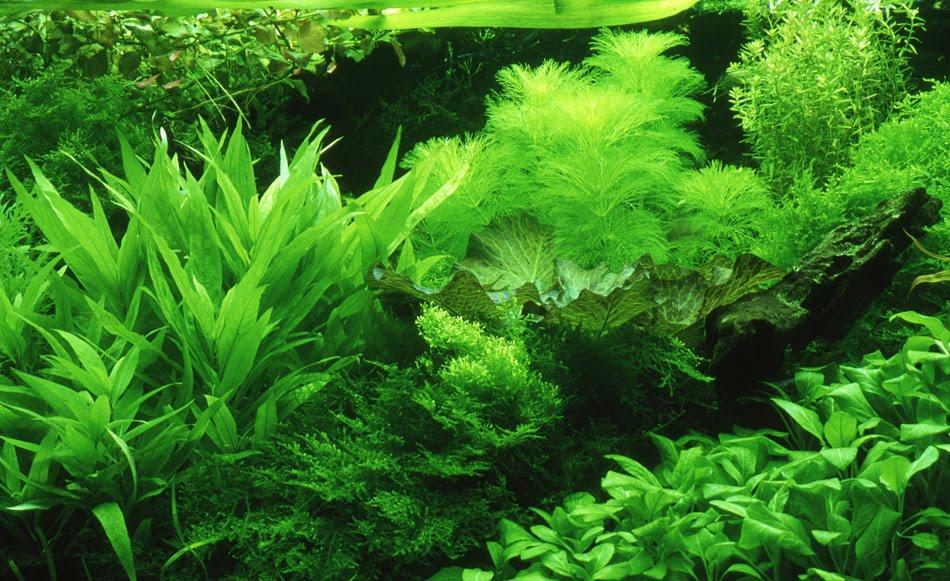aquarium plants - Live Aquarium Plants for Beginners 2017 - Fish Tank ...