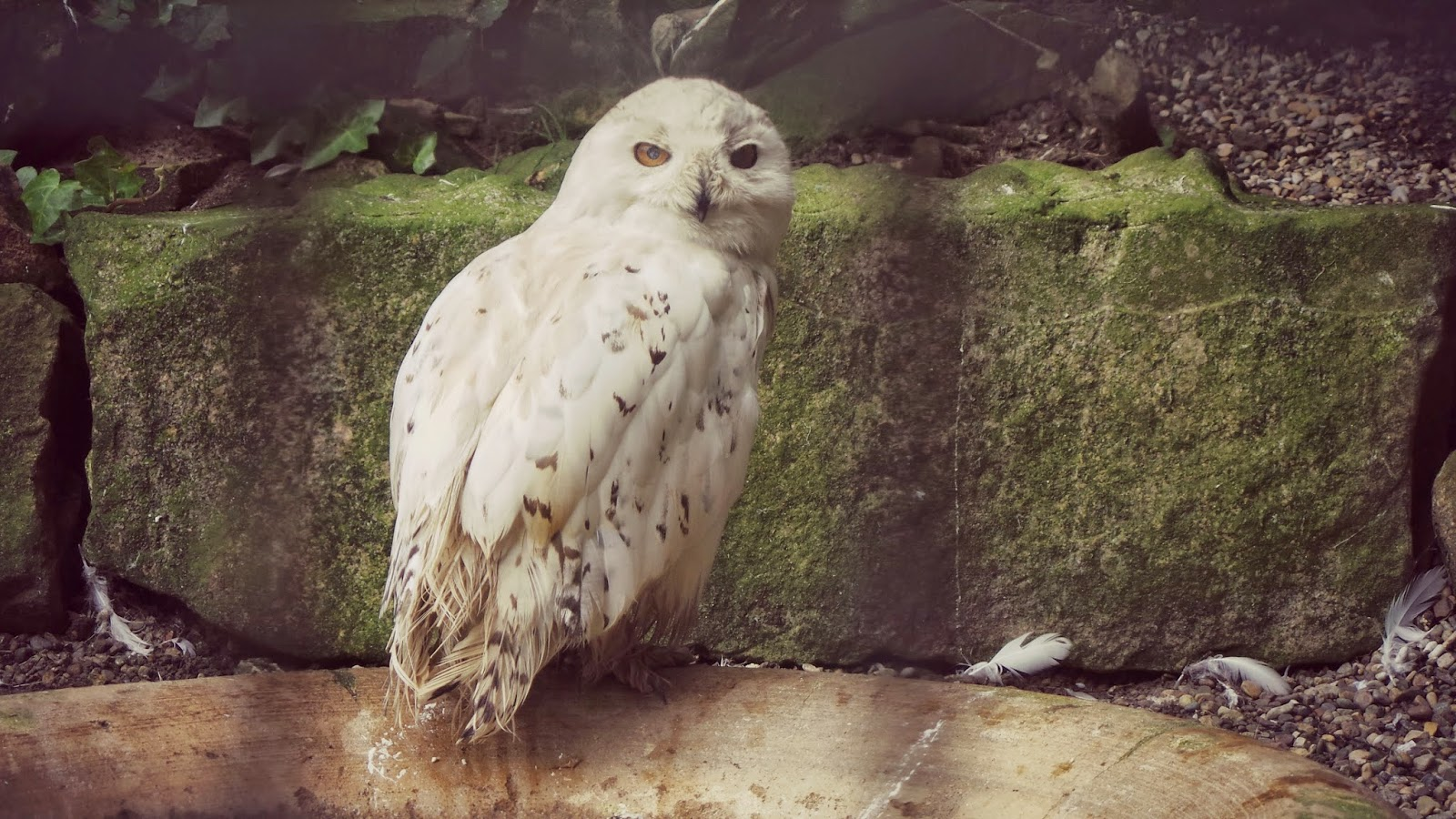 snowy owl at harewood house bird garden