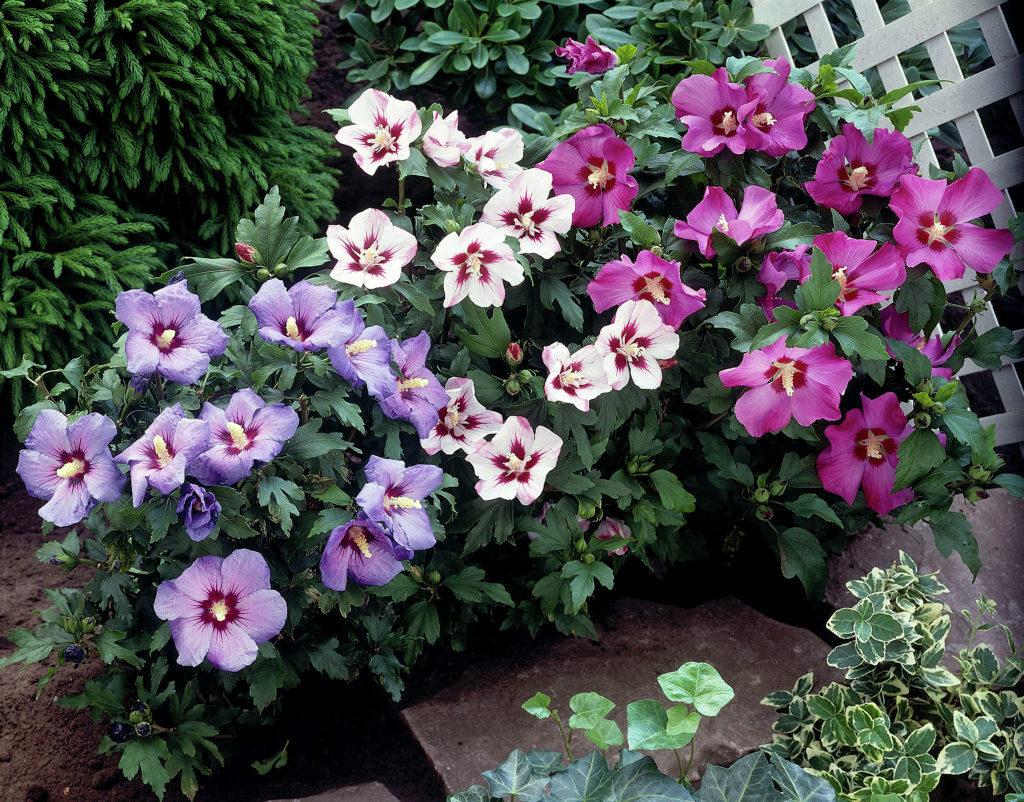 how to grow hibiscus the garden of eaden. Black Bedroom Furniture Sets. Home Design Ideas