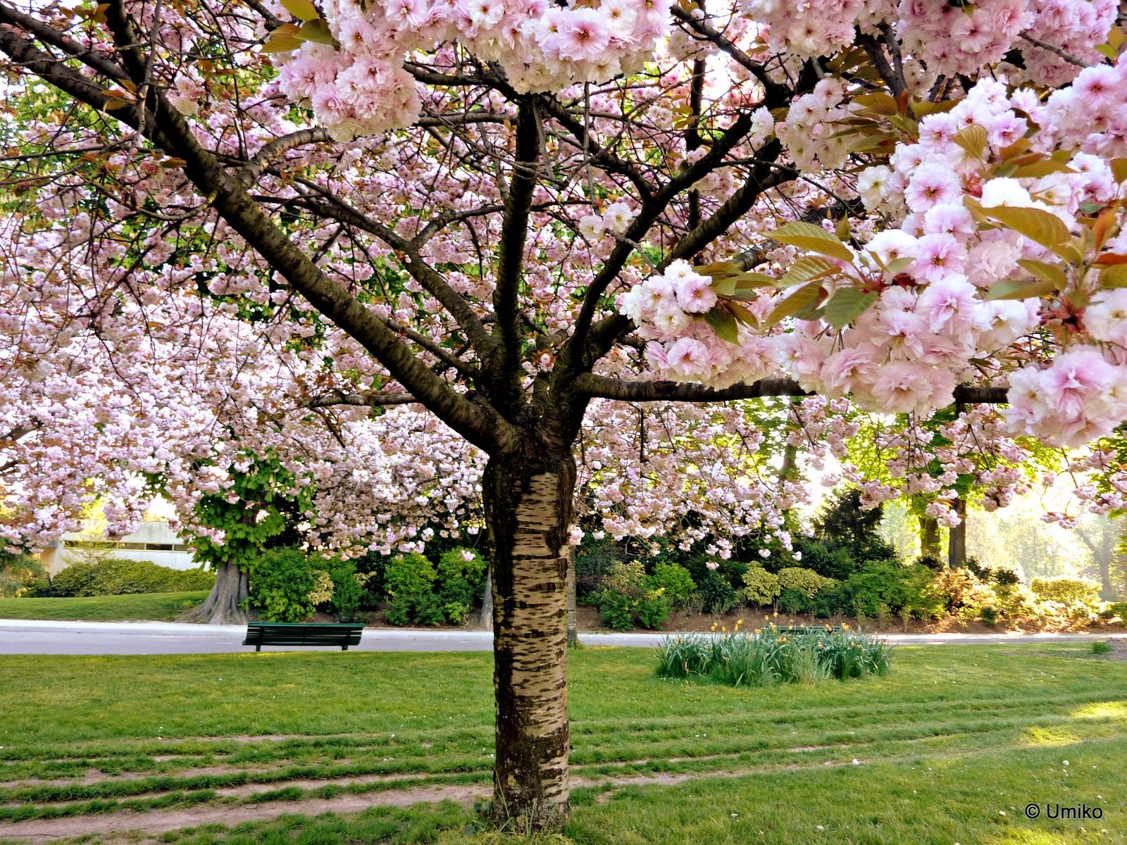 Les cerisiers japonais paris le papillon et l 39 empereur - Comment faire fuir les oiseaux des cerisiers ...