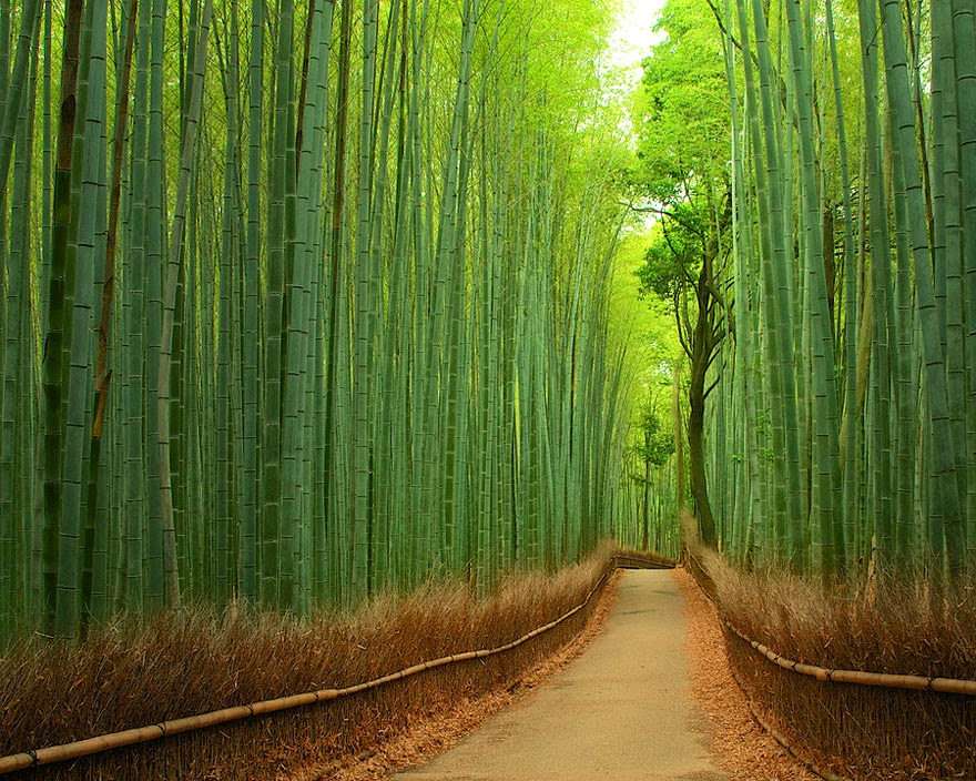 Bamboo forest in Sagano, Kyoto, Japan