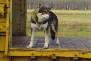 ... do Cão Vagabundo (The Littlest Hobo)