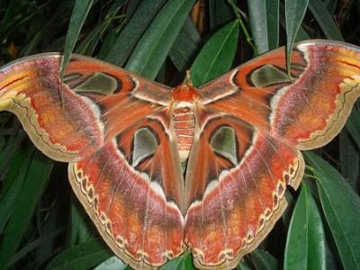 biggest butterfly أكبر فراشة في العالم