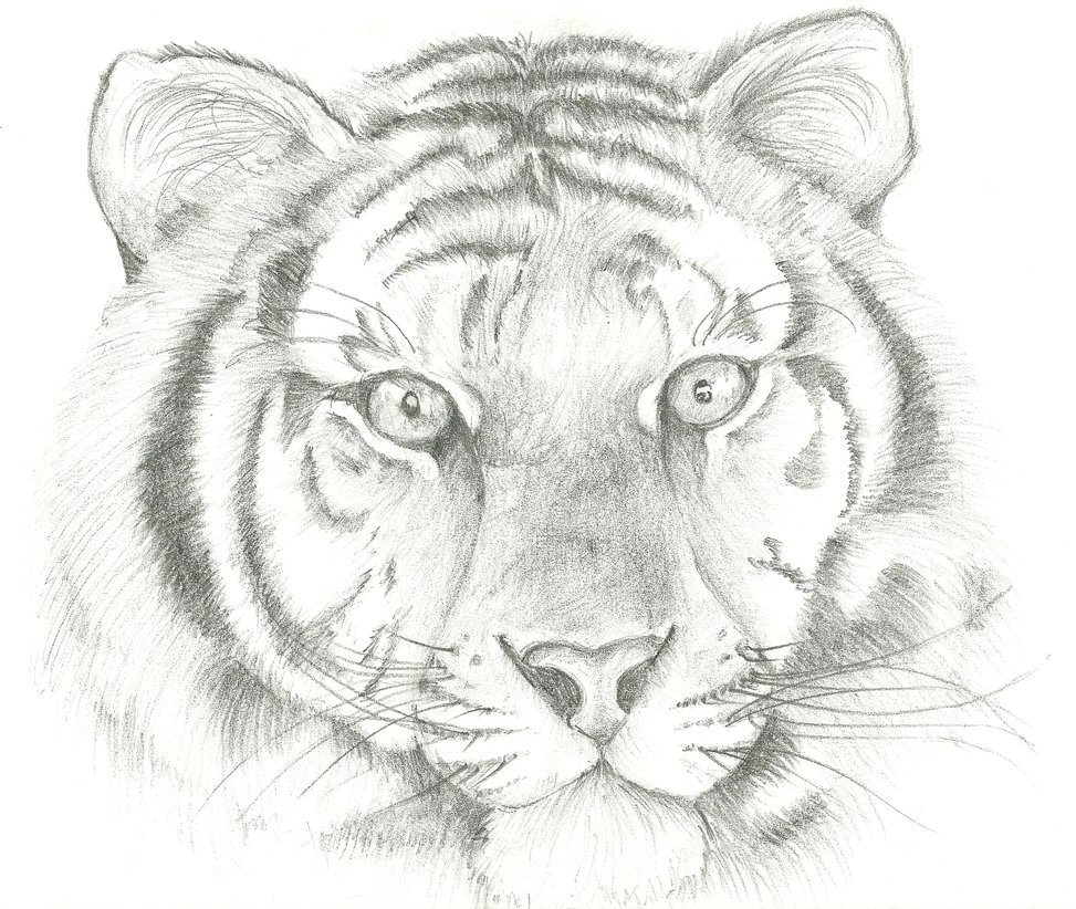 Tiger Drawing ~ 3D Drawing