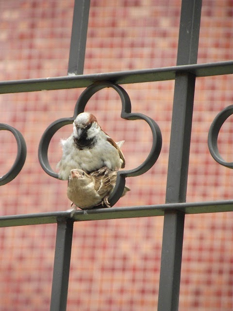 pássaros acasalando