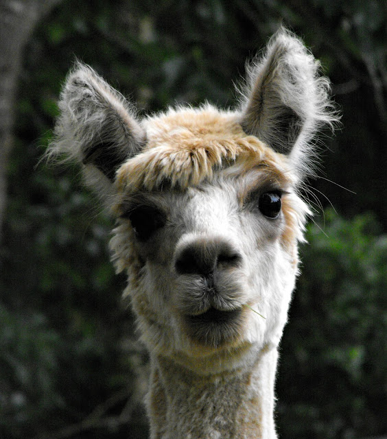 Beautiful cream alpaca face