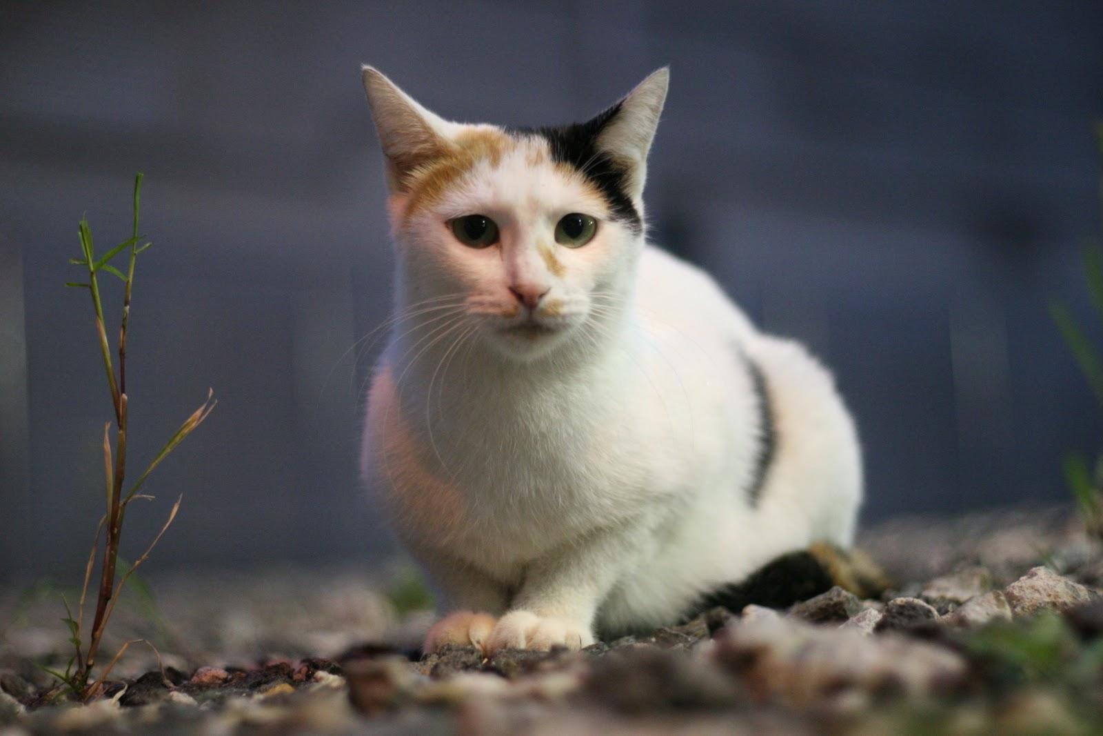 三毛猫の画像 p1_37