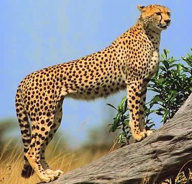Klasifikasi dan Ciri Khusus Cheetah